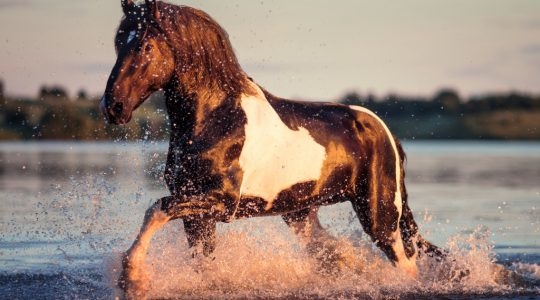 Bering sea water concentrate for horses