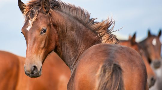 Silicon for growing young horses