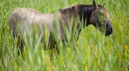 Why long grass is better then short grass for horses