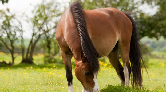 Horses with EMS have multiple health problems