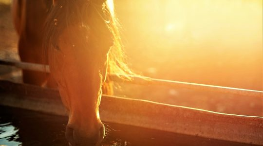Silicon for your horse, not all forms are absorbable
