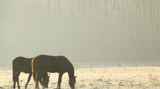 Fructan in grass in the winter can be dangerous for horses