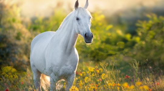 How do cannabinoids work in different conditions in horses