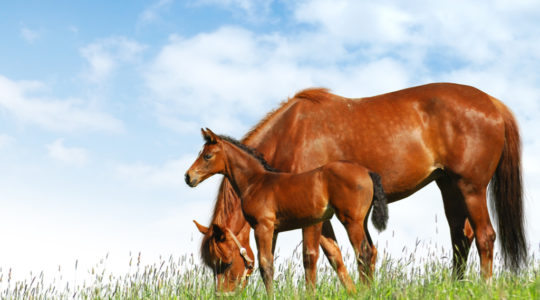 Vitamin E improves the fertility of mares and stallions